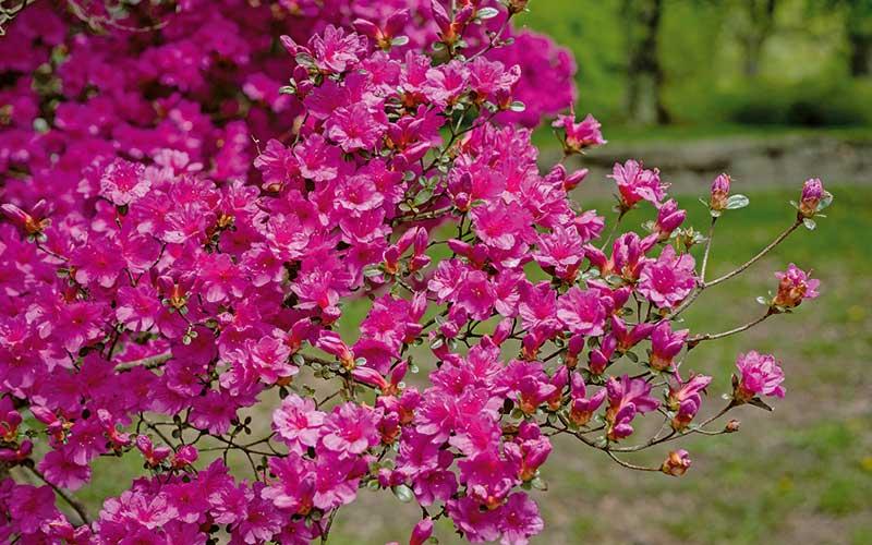 Jetzt Rhododendren pflanzen
