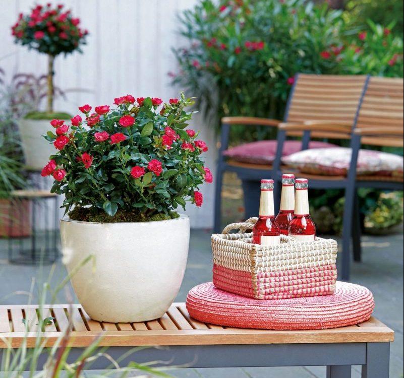 neue Rosensorte für Farbtupfer